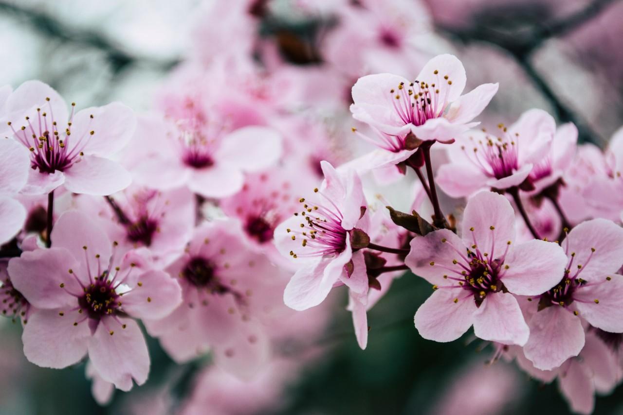 Pink Petaled Flowers Closeup Photo 992734